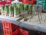 Raccolta degli asparagi